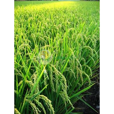 Hình ảnh làng quê, cánh đồng lúa trổ bông-imagestock-0077