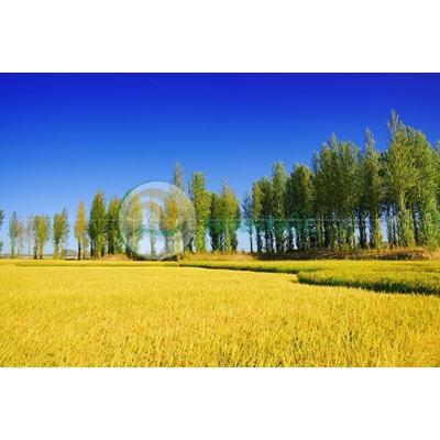 Hình ảnh phong cảnh làng quê cánh đồng lúa vàng-imagestock-0173