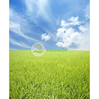 Hình ảnh phong cảnh làng quê cánh đồng lúa xanh-imagestock-0178