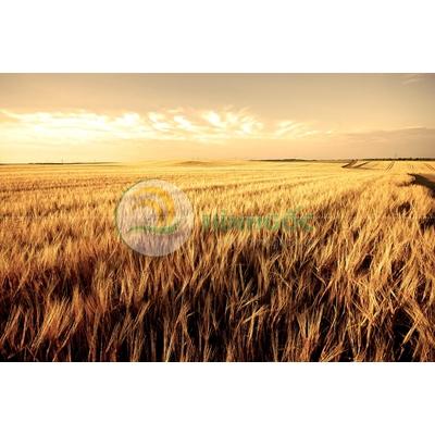 Hình ảnh làng quê cánh đồng lúa vàng-imagestock-0383