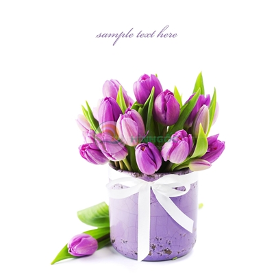 Hình ảnh hoa tulip bình hoa tulip tím-imagestock-0560