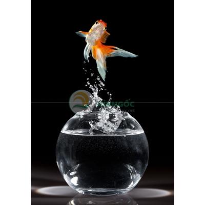 Hình ảnh cá chép, bình cá chép vàng-imagestock-0604