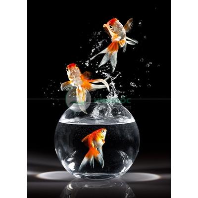 Hình ảnh cá chép, bình cá chép vàng-imagestock-0605