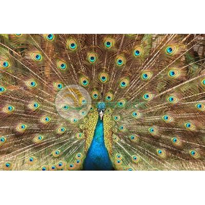 Hình ảnh chim công sắc màu-imagestock-0696