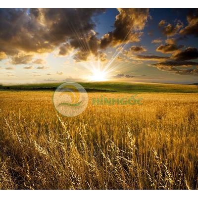 Hình ảnh phong cảnh làng quê, cánh đồng lúa chín vàng-imagestock-0747